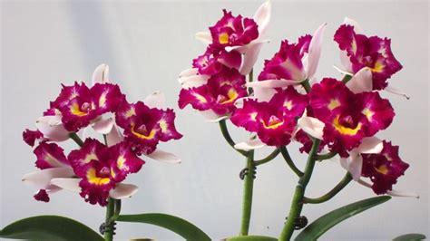 significato dei fiori orchidea significato orchidea significato dei fiori orchidea