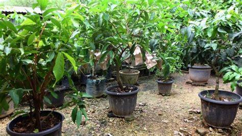 merawat tanaman hias suplir  baik tanaman hias