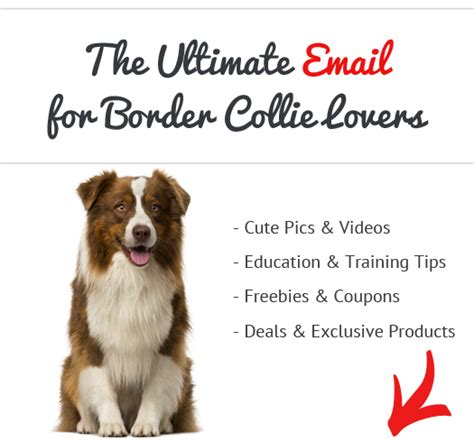 Do Border Collies Shed by Border Collie News Stories Pictures Products Border