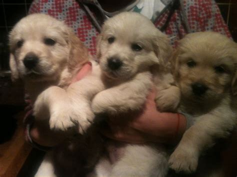 kennel club golden retriever puppies for sale golden retriever puppies for sale thetford norfolk pets4homes
