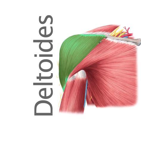 www imagenes m 250 sculo deltoides