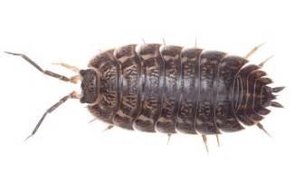 cloportes poisson d argent l 233 pisme groupe scorpion
