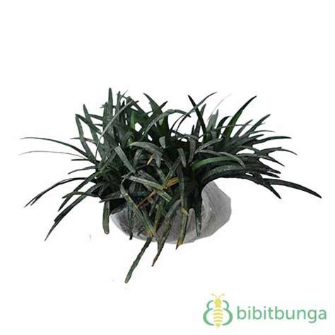 Tanaman Hias Rumput Kucai Mini tanaman rumput kucai mini mondo grass bibitbunga