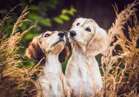 find puppies in your area saluki puppies for sale akc puppyfinder