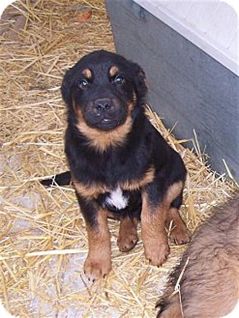 rottweiler labrador retriever mix sarge adopted puppy chewelah wa rottweiler labrador retriever mix