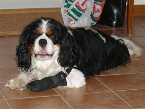 broken nail still attached broken nails in dogs