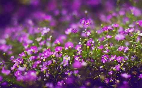 small purple flowers 1280x800 wallpaper mysterious purple small flowers desktop wallpapern 6