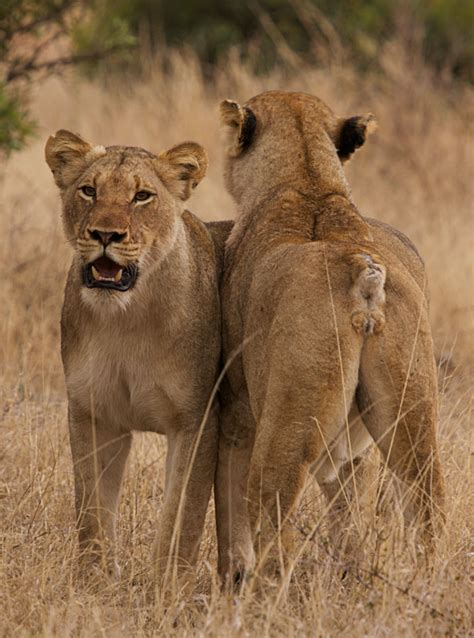 when a lioness growls a s pride books tsalala cubs killed londolozi