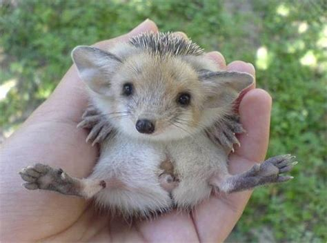 baby hedgehogs images  pinterest baby