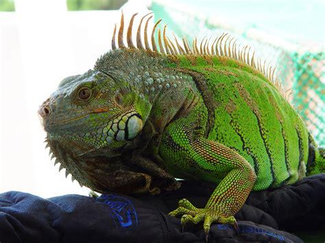 imagenes de iguanas verdes y negras l iguane vert ou iguana iguana un g 233 ant r 233 serv 233 aux