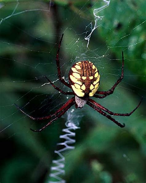 spider with yellow pattern on back argiope aurantia