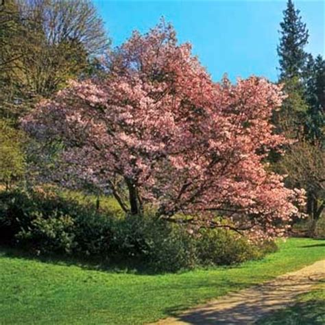 cherry tree zone 4 my enchanting cottage garden 8 fastest growing shade trees
