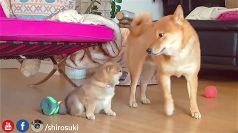 shiba inu vs golden retriever my is potato ep 19 shiba inu puppies our for pets