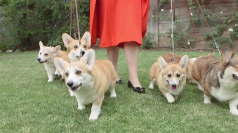the queens corgis can you find queen elizabeth in this sea of corgis aol news