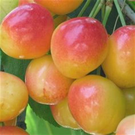cherry tree yellow fruit 1000 ideas about trees on fruit trees fruit trees and shrubs