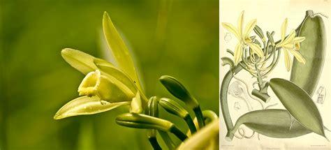 fior di vaniglia la vaniglia fiore di dolcezza e sensualit 224 extrait