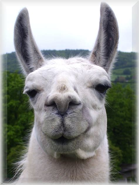 smiling llama by metthanich on deviantart