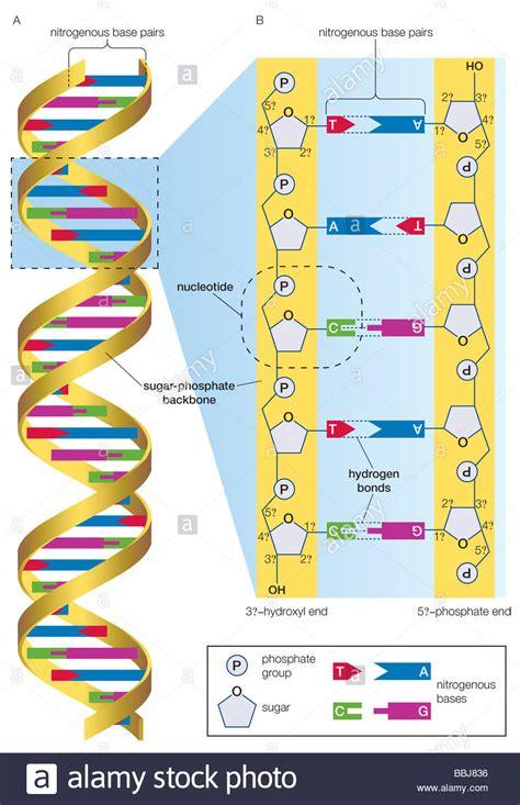 dna molecule diagram dna molecule and detailed view illustrating nucleotides