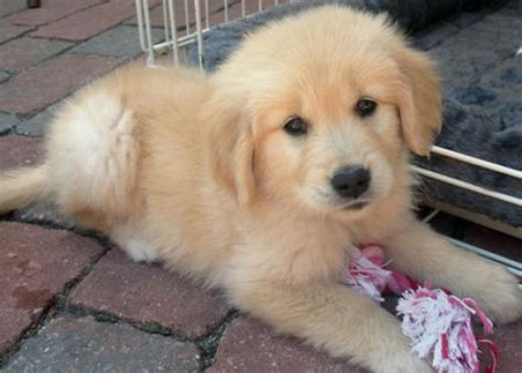 golden retriever havanese mix pictures of puppies 1