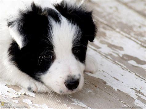 puppies nc chocolate lab pitbull mix puppies puppies puppy