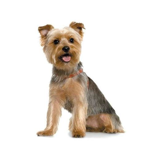 groomed yorkie pictures 17 best ideas about yorkie hairstyles on terrier haircut yorkie