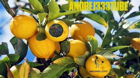 malattie della pianta di limone vaso malattie della pianta di limone trendy di agrumi in vaso
