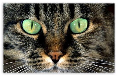 cat  green eyes  hd desktop wallpaper   ultra
