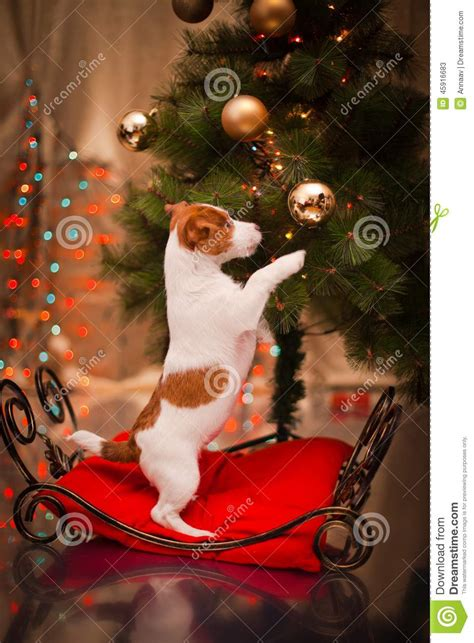 dog jack russell terrier puppy christmas stock image image