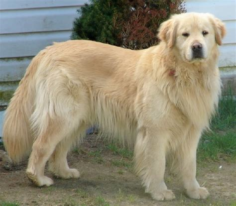 how big are golden retrievers alberta canada pet lost found dogs cats parrots cockatiels ferrets