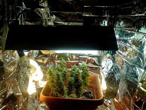 grow weed  cfls grow weed easy