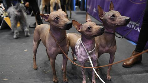 westminster show winner westminster show 2018 winners upcoming events and how to other sports