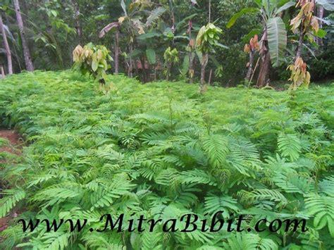 Bibit Pohon Kaliandra cv mitra bibit budidaya tanaman kaliandra yang menguntungkan