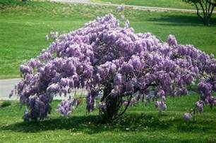 photo of the entire plant of texas wisteria wisteria frutescens blue moon posted by sharon