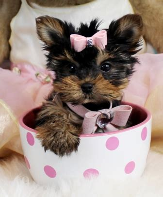 teacup yorkie puppy names teacup yorkies for sale teacup yorkie dogs florida