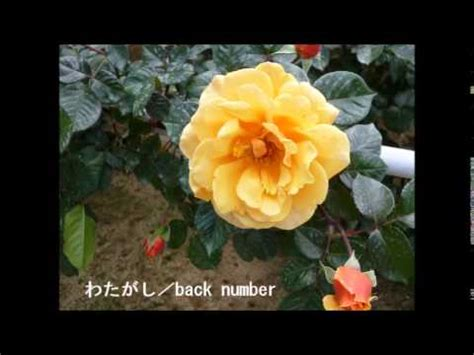back numbercover わたがし back number cover nachi