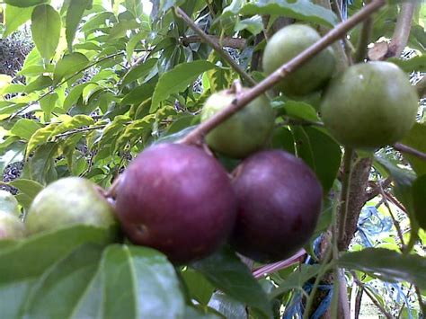 bibit buah bunton malang macam macam buah buahan lainnya