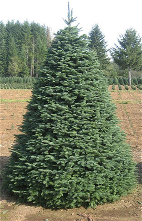 meadow fir 10 christmas tree images noble fir tree rudys trees