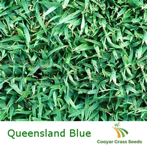 Queensland Blue Couch Blend Cooyar Grass Seeds