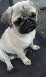 pugs ireland pug dogs puppies for sale in ireland