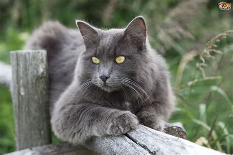 More information on the unusual Nebelung cat   Pets4Homes