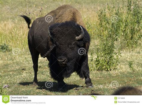 charging bison royalty  stock  image