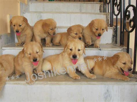 price of golden retriever in india golden retriever puppy price in india