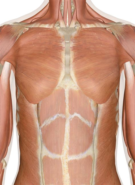 Muscles Of The Chest And Upper Back Chest Shoulder