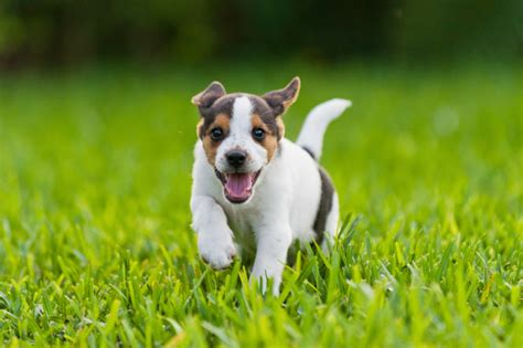 puppies running 22 photos of beagle puppies that will make your stop with cuteness i m