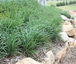 king alfred 174 dianella is the best erosion control plant