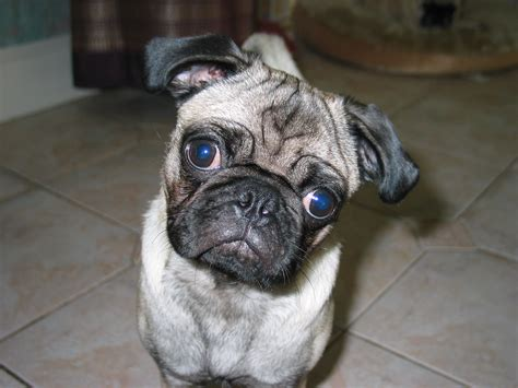 pug wiki file wilbur the pug jpg wikimedia commons