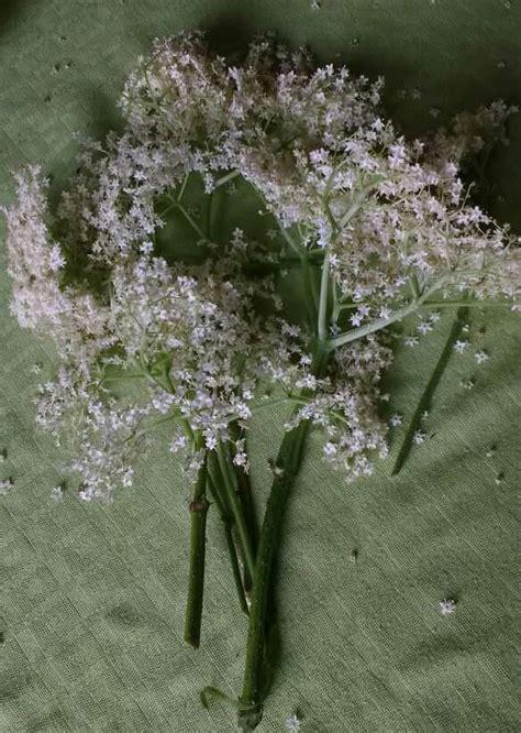 fiori di sambuco proprietà sciroppo di sambuco fiori medicinali estroso