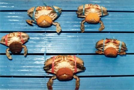 Pakan Udang Rawa pembenihan kepiting bakau info akuakultur