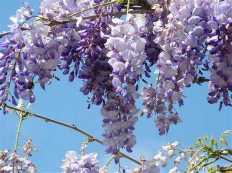 fiori glicine glicine wisteria consigli coltivazione e cura
