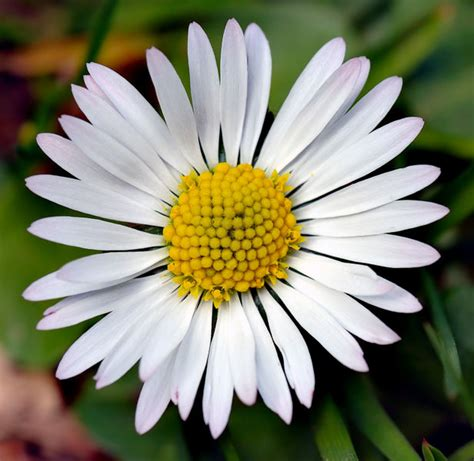 daisy facts daisy flowers information garden guides